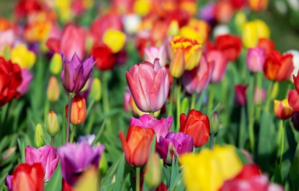 tulipán ültetése